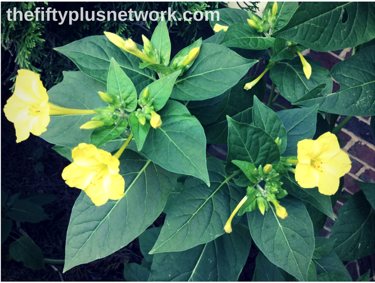 Yellow Four O'Clocks gardening good for your health healthy healthyliving healthylifestyle