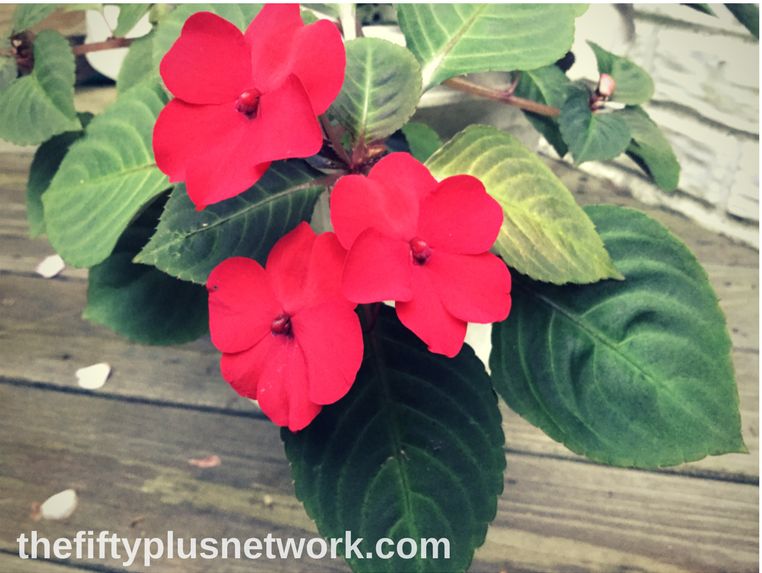 When you are finally able to enjoy your garden all day long ... flower flowers impatiens garden gardens gardening gardening is healthy